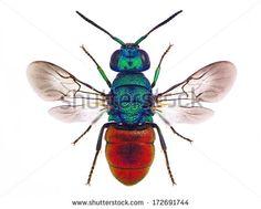 Amazing cuckoo wasp Holopyga punctatissima, isolated on white background - stock photo