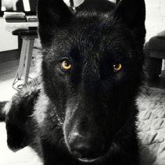 Hybrid wolf
