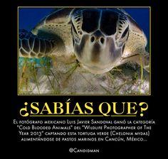 #Curiosidades El #Fotografo #Mexicano #LuisJavierSandoval ganó la categoría #ColdBloodedAnimals del #WildlifePhotographerOfTheYear2013 captando esta #TortugaVerde #CheloniaMydas alimentándose de pastos marinos en #Cancun, #Mexico...  @Candidman