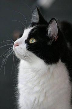 Want your cat to be a dapper dresser? Get a tuxedo cat! We recently found a tuxedo kitten - or rather, she found us! She's such a pretty little thing, and it just goes to show that girls can look good in a tux too! #tuxedocat #blackandwhitecat #beautifulmarkings