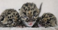 baby Leopard | baby-leopards