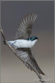 Tree Swallow - taking off