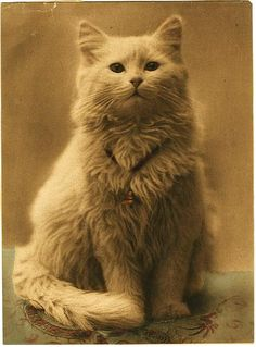 angora (1880-1890) Portrait of a Cat