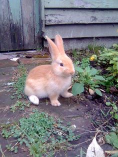 It's so freaking cute!! I want one.  Baby bunny - Flemish Giant, aged 3 weeks