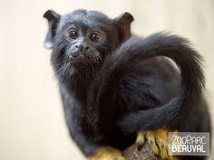 #Tamarin à mains rousses - ZooParc de Beauval