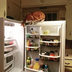 Busted! Looking for a midnight snack! #InstaTags4Likes #cat #cats #kitten #foodie #catsagram #catstagram #instagood #pet #pets #funny #animals #petstagram #petsagram #photooftheday #catsofinstagram #ilovemycat #instagramcats #catoftheday #caturday #lovecats #lovekittens #adorable #catlover #instacat #tortie #oriental #tw #pin