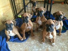 What a precious little group of Boxer puppies!   www.bullymake.com