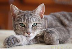 Le chat domestique (Felis silvestris catus) est un mammifère carnivore de la famille des félidés. Il est l'un des principaux animaux de compagnie et compte aujourd'hui une cinquantaine de races différentes reconnues par les instances de certification. Dans de nombreux pays, le chat entre dans le cadre de la législation sur les carnivores domestiques à l'instar du chien et du furet.