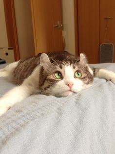 アメリカンカール 変顔 - のんちゃんの写真ならキャットゴー
