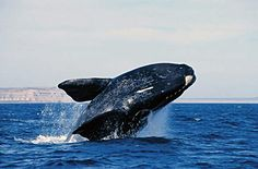 Right Whale in Valdes Península - Argentine Patagonia - Full Info - Photos, Videos and more. Peninsula Valdes, Whale Watching, The Good Place, Images, World, Nature, Orcas, Animals, Southern