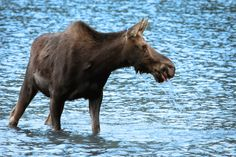 Silver Lake Flats. If you're willing to hike a few miles (or drive over *really* bad dirt roads), you'll get to Silver Lake Flats (up American Fork Canyon). Go early in the year while the lake is full. Took this picture of a cow moose while we were there.