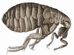 Curiosidades, datos y descripción de los hábitos de la pulga. Ilustración de Robert Hooke en Micrographia #libros #ilustraciones #plugas #plagas