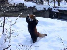 「ハイタッチしよ!」レッサーパンダが雪の中ではしゃぎまくり(動画):らばQ http://labaq.com/archives/51845587.html