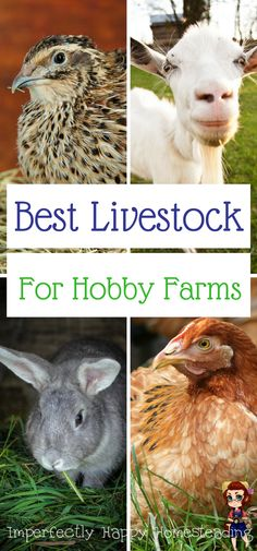 The Best Livestock Choices for Hobby Farming, Backyard Farms and Urban Homesteads