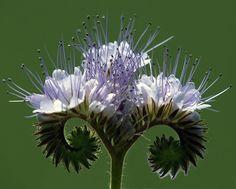 Phacelie artistique:Connaissez-vous cette plante spectaculaire qui permet d'enrichir la terre et de fleurir le potager ? Site du potager durable (Toulouse, France)