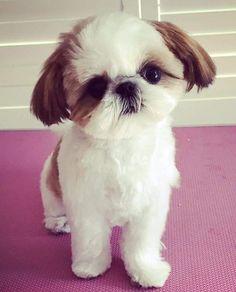 Solo. Puppy born here. ❤ #shihtzu