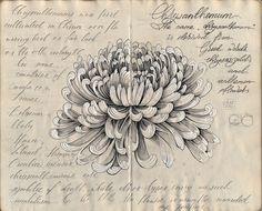 Ink sketch of Chrysanthemum by Elena Limkina Botanical Illustration, Botanical Art, Chrysanthemum Drawing, Dahlia, Fall Drawings, Flower Band, Mehndi, Leaf Drawing, Japanese Sleeve Tattoos