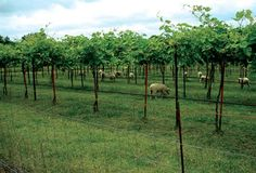 Babydoll sheep keep all the ground cover trimmed at the Norton grape block without the need for equipment or controls other than fencing.