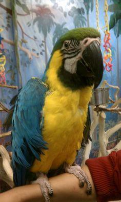 Pet Bird Parrot Cage Toys Desparado Boy for Conures Cockatoo African Grey Macaw