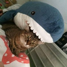 People Are So In Love With The New Plush Shark Toy Released By IKEA - World's largest collection of cat memes and other animals Cute Little Kittens, Kittens Cutest, Cats And Kittens, Cute Cats, Cute Shark, Baby Shark, Shark Meme, Shark Plush, Big Plush