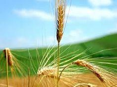 """""""Na verdade, na verdade vos digo que se o grão de trigo, caindo na terra, não morrer, fica eles só, mas se morrer, dá muito fruto (Jo 12:24)    Entregue-se, pois assim você encontrará a si mesmo. P…"""