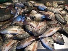 The most famous of this group is the Tilapia Galilea, also know as the St. Peter's Fish. As the water cools for the winter the Musht are the only large fish that move in shoals to the shallow water. Gospel Bible, Sea Of Galilee, Background Information, Prehistoric, Fishnet, Tilapia, Shallow, Illustration, Group