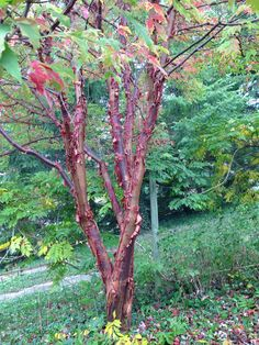 Acer griseum Trees And Shrubs, Flowering Trees, Garden Trees, Garden Plants, Garden Gadgets, Planting Plan, Woodland Garden, Landscaping Plants, Landscape Architecture