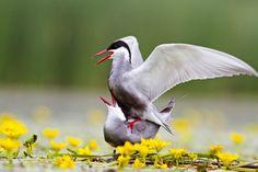 Specii - pasari - 2 - REZERVATIA BIOSFEREI DELTA DUNARII Danube Delta, Visit Romania, Bird, Birds