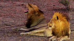 (6) Twitter National Geographic Wild, African Safari, Live, Twitter, Animals, Animales, Animaux, Animal, Animais