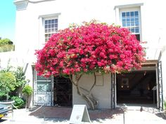 The Bougainvillea is a rapid growing tree and a popular ornamental plant, grown for the display of its flowers.