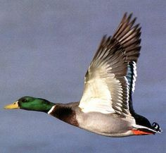 Mallard In-flight Related Keywords & Suggestions - Mallard In ...
