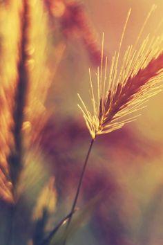 Farm Wheat Corp Macro Blur #iPhone #4s #wallpaper