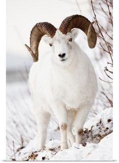 Doug Lindstrand Poster Print Wall Art Print entitled Front view of a full-curl Dall sheep ram, Chugach mountains, Southcentral Alaska, Winter, None