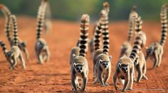 Ring-Tailed Lemur, Berenty Private Reserve, Madagascar by superstock