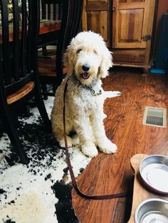 11 Best Goldendoodle Puppies Images In 2018 Goldendoodle