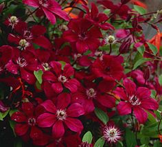 Clematis 'Allanah'- what a beautiful red bloom!!