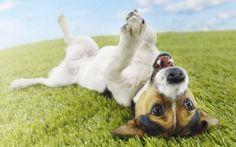 Jack Russell Terrier: a természet, a történelem és a standard funkciók a tartalom (+ kép és videó)