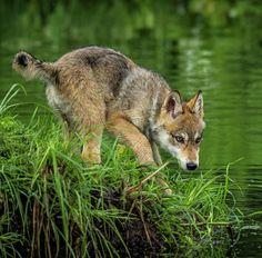 "beautiful-wildlife: "" Grey Wolf Pup by Rona Schwarz "" … Beautiful Wolves, Most Beautiful Animals, Beautiful Creatures, Cane Corso, Sphynx, Wolf Spirit, Spirit Animal, Otter, Chinchilla"