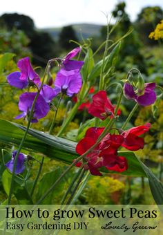 Sweet Peas are easy to grow and produce masses of deeply fragrant blossoms. Here are some tips on growing them in either containers or in the garden.