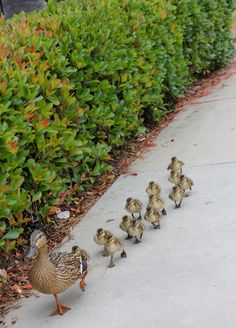 Mother and 13 duckling...