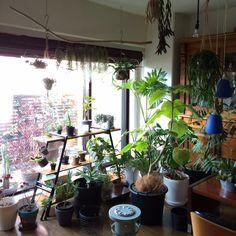 chamicoさんの、キセログラフィカ,DIY棚,ジャングル化,ウスネオイデス,流木,Lounge,のお部屋写真