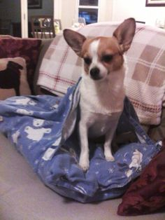 My chihuahua in her new envelope bed. She hates it! I had to shove her inside just to get this pic!!