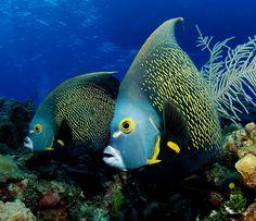 Underwater Photography | Angel Fish – Underwater Photography – Cayman Brac | Ikelite ...