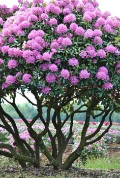 Prune rhododendron into an ornamental tree