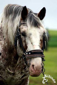 Noriker stallion Noriker Horse, Andalusian Horse, Friesian Horse, Arabian Horses, Appaloosa, Beautiful Horse Pictures, Beautiful Horses, Medieval Horse, Horse Ranch