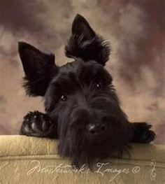 Scottie dog, a sweetie - Bing Images