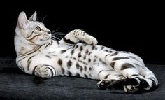 Love the silver Bengal cats.....