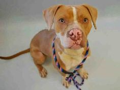 Manhattan Center MOOSE – A1080940  MALE, TAN / WHITE, AM PIT BULL TER MIX, 1 yr STRAY – STRAY WAIT, NO HOLD Reason STRAY Intake condition EXAM REQ Intake Date 07/12/2016, From NY 10027, DueOut Date 07/15/2016