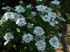 "Candytuft 'Masterpiece'. Iberis sempervirens. 12-18"". Blooms April-June."