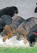 Austin German Shepherd Rescue has puppies available for adoption!